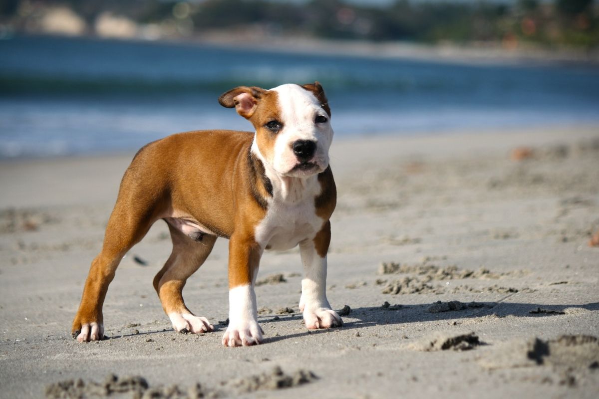 pit bull law in ontario essay Pit bulls have a bad reputation for being dangerous dogs this article provides the laws on banning and restricting pit bulls.