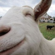 Saving Sunshine, the Happiest Goat Ever