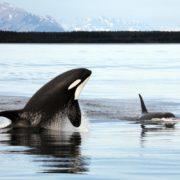 Orca_Alaska