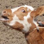 Ad-calf