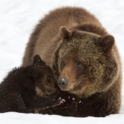 A grizzly sow and cub-of-the-year near Yellowstone's Fishing Bridge.