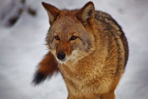 800px-Coyote-face-tail-snow-mouth_-_West_Virginia_-_ForestWander-300x200.jpg