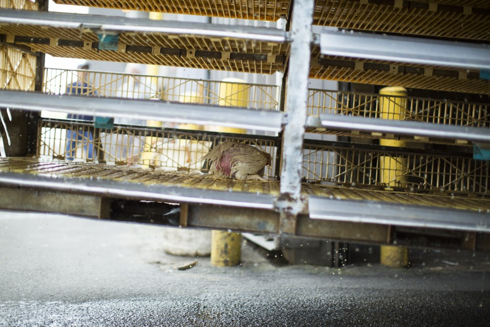Authorities Investigating After Live Chicken Goes Through Sanitizing Washer at Vancouver Slaughterhouse