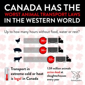 Canadian animal transport slaughter truck slaughterhouse livestock