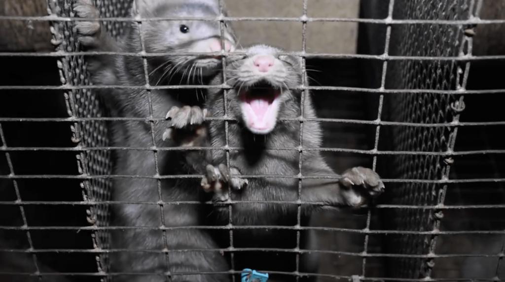 Mink Trial
