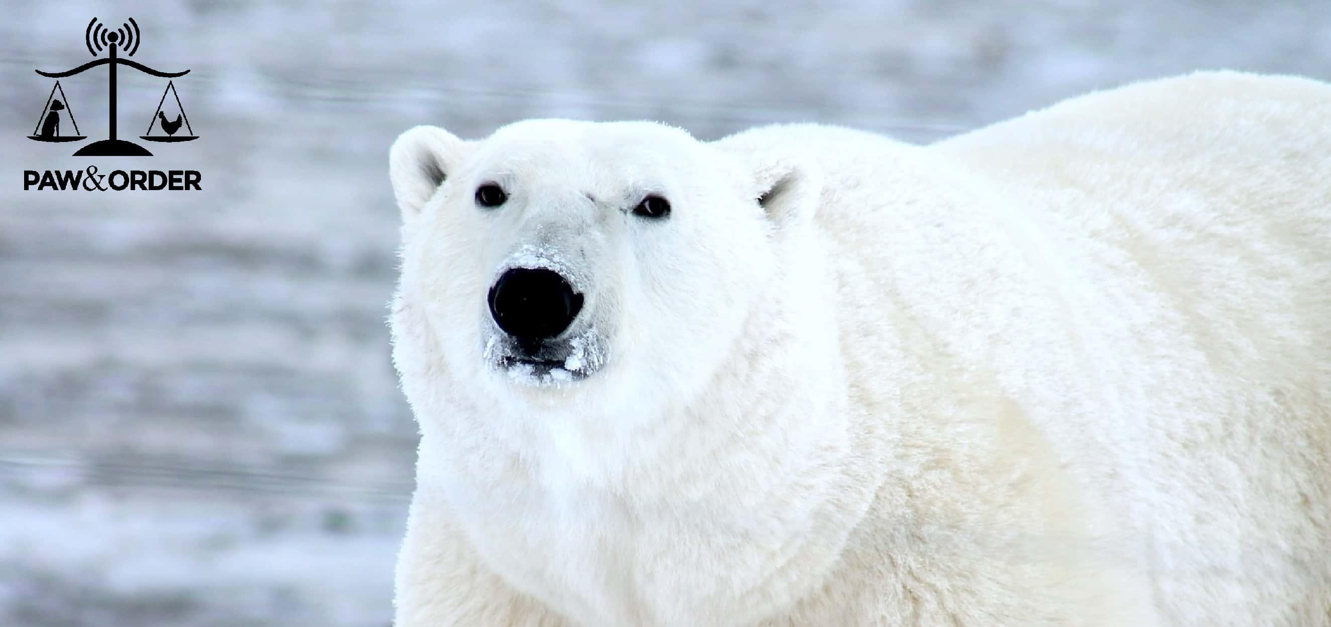 animal justice 15 polar bears orcas the global